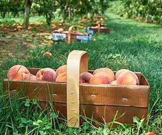 DeVries Fruit Farm - PYO Strawberries in June Strawberries, Ontario, June, Peach, Apple, Fruit, Peaches, The Fruit, Prunus