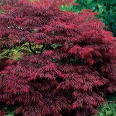 "japanese weeping maple (acer palmatum) ""garnet"""