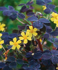"""Volcanic sorrel - Oxalis vulcanicola """"Zinfandel"""" Brightening Damp Shade - Fine Gardening Article"""