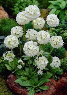 palloesikko valkoinen Shade Garden, Garden Plants, Blossom Garden, Primroses, Moon Garden, Calla Lily, Daffodils, Garden Inspiration, Houseplants