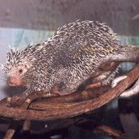 Prehensile-Tailed Porcupine at Los Angeles Zoo Los Angeles, CA #Kids #Events