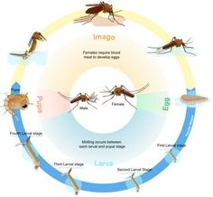 Mosquito Life Cycle, Roots Show, Organic Weed Control, Natural Mosquito Repellant, Dug Up, Zika Virus, Mosquitos, La Formation, Sang