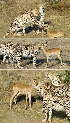 Unlikely animal friends.  These 3 young Cheetah brothers came across a herd of antelope, and this baby was left behind.  They hung out with it awhile then calmly walked away.  Awww!