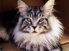 Avez-vous déjà vu de magnifiques chats à la crinière de lion ? C'est assez envoûtant ! Leur posture majestueuse et leur regard ressemblent terriblement à…