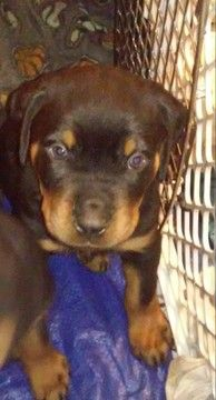 Rottweiler Puppy For Sale In Kansas City Mo Adn 52367 On