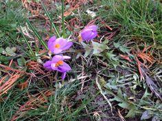 A+hivatalos+tavasz+csak+március+21-én+kezdődik,az+enyhe+télnek+köszönhetően+viszont+már+felfedezhetünk+egy-egy+előbújó+virágot.  Ilyen+például+a+sáfrány(Crocus),ami+ha+jól+érzi+magát+pár+éven+belül+szépen+elszaporodik.Napos+helyen+érzi+jól+magát+és+már+ősszel+el+kell+ültetni+a+tavaszi+virágzás…