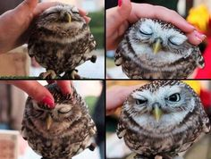 I never knew owls likes to be pet, they're not the type to enjoy human contact I would assume...as would you, I'm sure