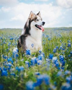 Sad that we're going to miss out on Blue Bonnet. Cute Husky Puppies, Super Cute Puppies, Cute Little Puppies, Cute Cats And Dogs, Husky Puppy, Funny Husky, Cute Dog Photos, Cute Animal Pictures, Pretty Animals