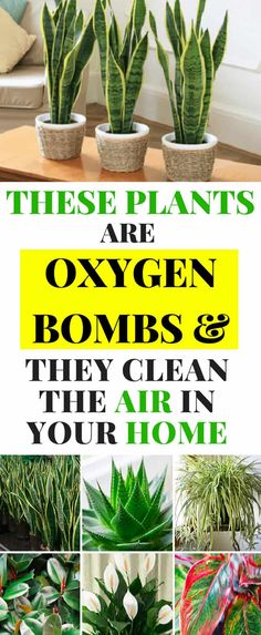 These Plants Are Oxygen Bombs & They Clean The Air In Your Home - Magical Useful Tips