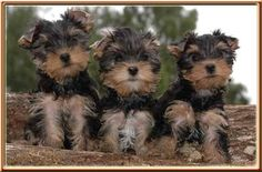 Yorkshire Terriers love love my yorkies Yorkshire Terrier Puppies, Terrier Dogs, Pitbull Terrier, Yorkies, Yorkie Puppy, Teacup Yorkie, Cute Puppies, Cute Dogs, Dogs And Puppies