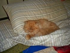 Meet Mister a Petfinder adoptable Persian Cat | Seattle, WA | Mister is a very handsome Persian boy in need of a new home. He had some litter box issues in his...