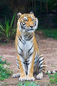 tiger-sitting-19064906.jpg (300×450)