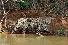 Amazing Pictures that Show a Jaguar Killing a Crocodile - Likes