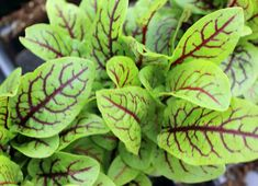 Red-veined Sorrel (Rumex sanguineus) (beautiful, and both an herb, and a vegetable...)