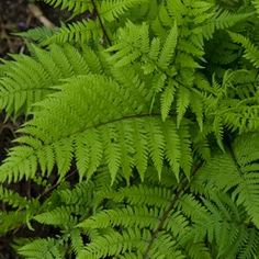 Buy Athyrium Lady in Red Perennial Plants Online. Garden Crossings Online Garden Center offers a large selection of Fern Plants. Shop our Online Perennial catalog today!