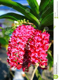 Image from http://thumbs.dreamstime.com/z/deep-pink-rhynchostylis-orchid-genus-abbreviated-as-rhy-horticultural-trade-member-family-orchidaceae-49174362.jpg.