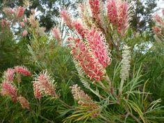 A wondrous array of colours for Australian Grevillea. Australian Garden Design, Australian Native Garden, Australian Native Flowers, Australian Plants, Australian Bush, Tropical Garden Design, Coastal Gardens, Flowering Shrubs, Gardens