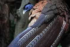 GREAT ARGUS PHEASANTArgusianus argus©Jeff Monroe The Great Argus, (also known as Phoenix in  some Asian areas) is a brown-plumaged  pheasant...