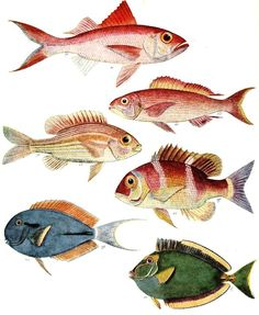 "intheheatherbright: ""  Snappers, Bream, Surgeonfish and Unicornfish. Prof. J. L. B. Smith, The Sea Fishes of Southern Africa, illustrations Margaret M. Smith (Johannesburg: Central News Agency, 1972 [1949]) """