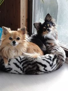 Effective Potty Training Chihuahua Consistency Is Key Ideas. Brilliant Potty Training Chihuahua Consistency Is Key Ideas. Teacup Chihuahua, Chihuahua Love, Chihuahua Puppies, Cute Puppies, Cute Dogs, Dogs And Puppies, Chihuahuas, Doggies, Long Haired Chihuahua
