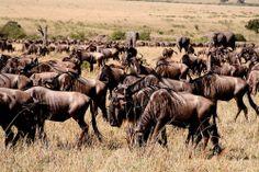 The Serengeti Wildebeest Migration | HappyTrips.com