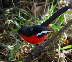 Crimson Bush Shrike in the Camp