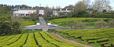 Campos de Chá da Gorreana, Gorreana Tea Plantation, Sao Miguel Island, Azores, Portugal