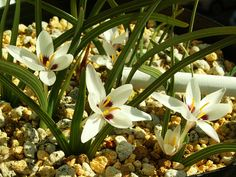 Hesperantha luticola