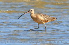 Scientists look for surviving Eskimo curlew birds | IFSLA
