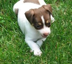Nip-an is an adoptable Rat Terrier Dog in Grand Rapids, MI. Nip-an is a beautiful and sweet little 3-lb. Rat Terrier puppy. She is a busy gal who loves to play with her brother, Tuck, and explore what...