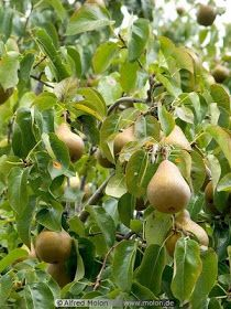 Ben Witherington: THE PARABLE OF THE PEAR TREE