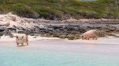 Das Paradies auf den Bahamas: Schwimmende Schweine und zahme Rochen