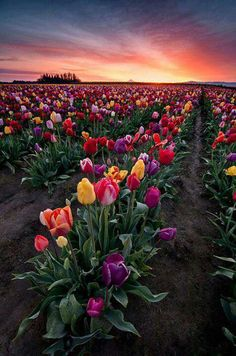 Sunset and endless fields of tulips