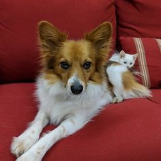 Cute Pomeranian mix dogs are the favorite choice of pets, and there are so many of these mixed breeds to choose so with this article, your search will be a lot easier. Pomeranian Breed, Cute Pomeranian, Pomeranians, Mixed Breed, Working Dogs, Large Dogs, Dog Friends, Dog Toys, Beagle