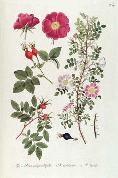 Rosa turbinata by N. J. von Jacquin - Plantarum rariorum horti caesarei Schoenbrunnensis 1809