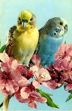 John Hinde postcards - the collection Budgies. Pink. Blue. Yellow. Aqua.