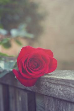 A Compilation of All My Favourite Flower Pictures — Jessica Khalaf Photography Love Rose Flower, Beautiful Rose Flowers, Beautiful Flowers Wallpapers, Beautiful Nature Wallpaper, Belle Image Nature, Image Nature Fleurs, Flower Phone Wallpaper, Flower Wallpaper, Nature Verte