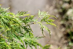 Oravankesäpesä | Japaninvaahtera Acer palmatum 'Dissectum'