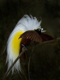 Burung Cendrawasih - Lesser Bird of Paradise - Paradisaea Minor