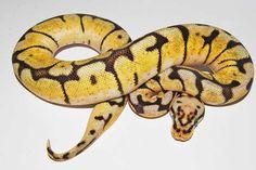 Bumblebee Ball Python Cool Snakes, Ball Python Morphs, Mother Nature, Animals, Animales, Animaux, Animal, Animais, Nature