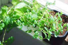 indoor Mint