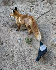 The Crow and the Fox The Crow, Animals And Pets, Funny Animals, Cute Animals, Beautiful Birds, Animals Beautiful, Especie Animal, Jackdaw, Crows Ravens