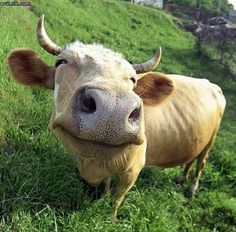 a happy cow. smile.