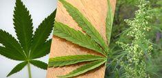 The 3 Main Varieties of Cannabis: Cannabis Indica; Cannabis Sativa, Cannabis Ruderalis.