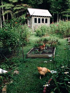 Chicken garden photographed by Hannah Queen