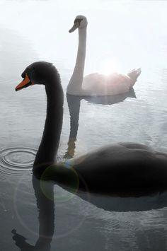 Elegant Swans - title Black & White Swans - by KEN OHSAWA