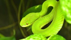 Closeup Of Black Rat Snake Scales Stock Photo Picture And Vine Snake, Rat Snake, Emerald Tree Boa, Green Anaconda, Snake Scales, Types Of Snake, Snake Shedding, Black Rat, Mother Feeding