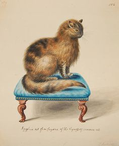 a Persian tabby cat (Felis catus) by George Edwards (1709-1773)