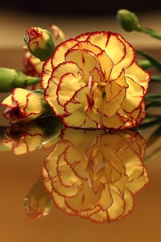 Carnations are the flower symbol for Capricorn Exotic Flowers, Orange Flowers, Amazing Flowers, Beautiful Flowers, Flowers Gif, My Flower, Flower Power, Small Flowering Plants, Dianthus Caryophyllus