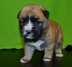 Ben is a cute little 2 month old. He is an adorable and handsome Chow Chow mix so check him out today!
